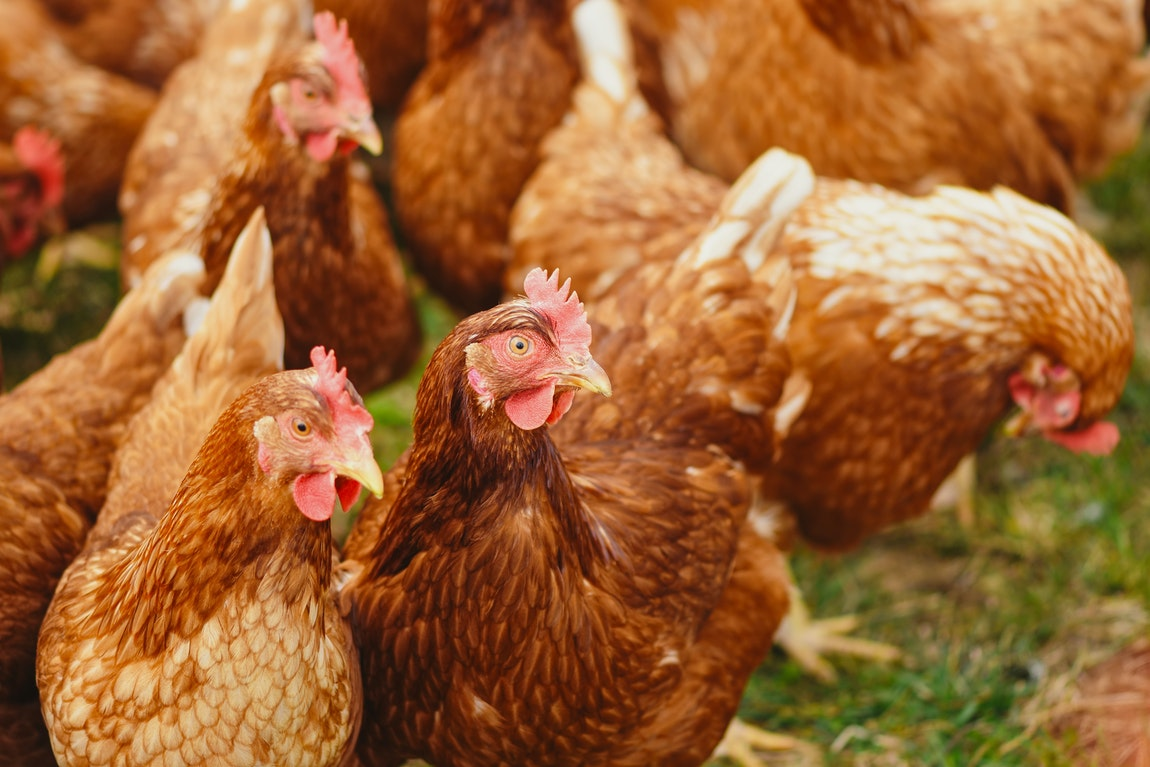 Keeping Your Chickens Healthy With Quality Feeds